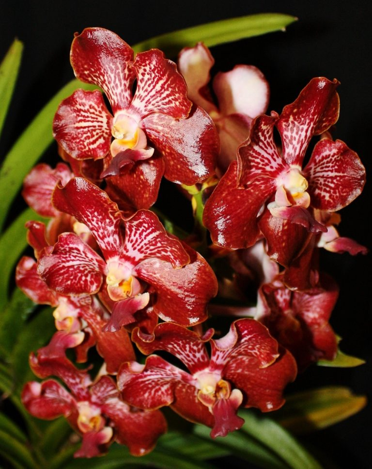 Vanda-Redland-Black-Magic-Oxblood-AMAOS-owned-by-Jim-Longwell-768x968