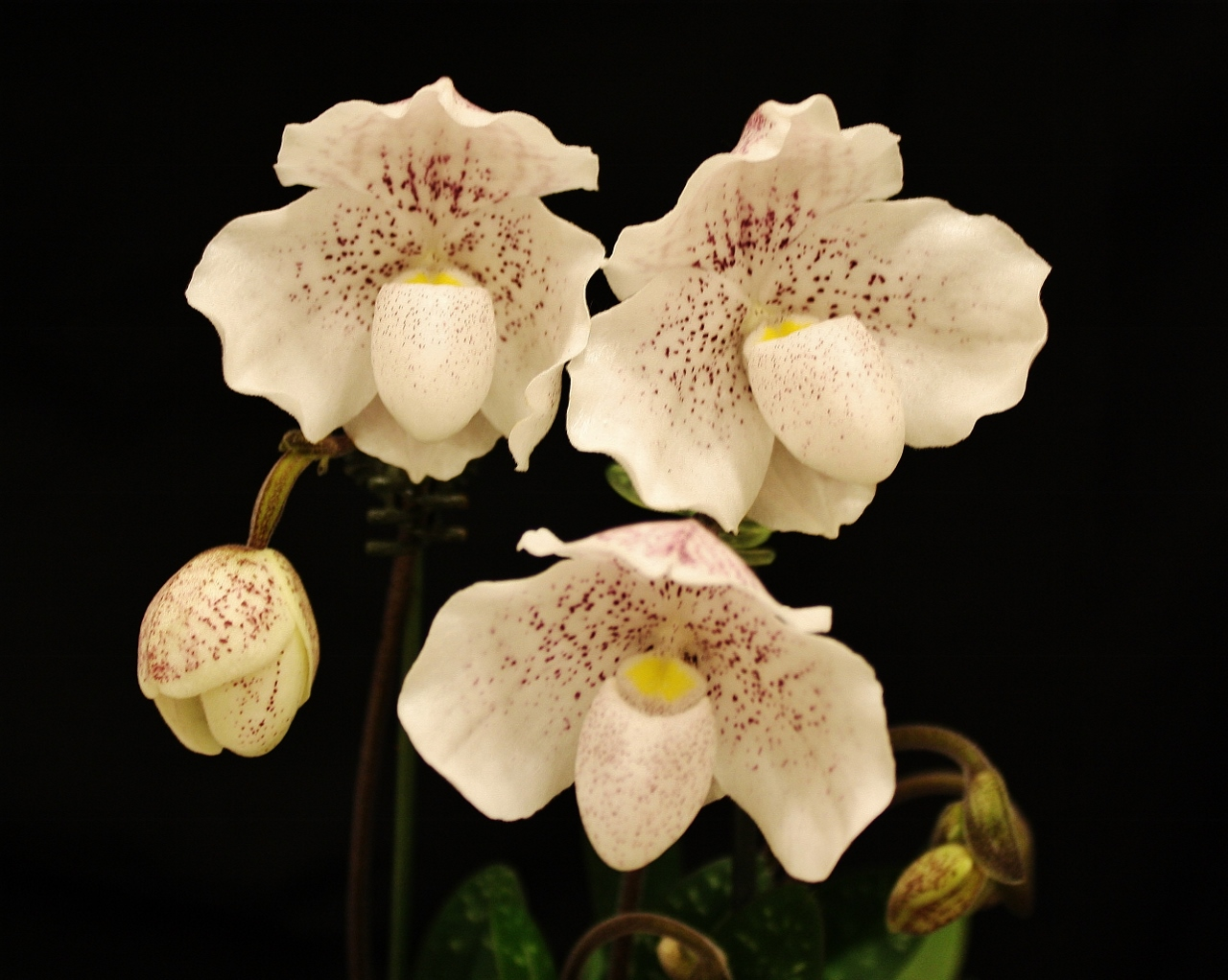 Paph-Lalita-owned-by-Marilyn-Moser-1