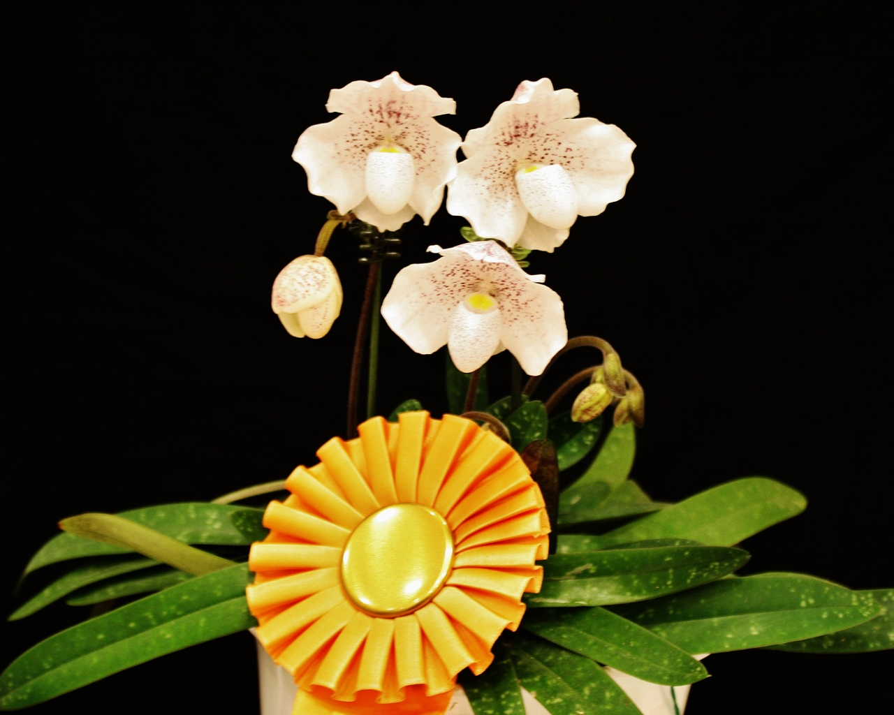 Paph-Lalita-owned-by-Marilyn-Moser
