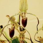 Paph.-St.-Swithin-x-Paph.-Gary-Romagna-owned-by-Jim-Longwell-1