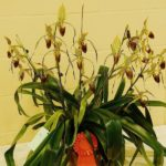 Paph.-St.-Swithin-x-Paph.-Gary-Romagna-owned-by-Jim-Longwell