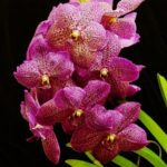 Vanda-Roberts-Delight-owned-by-Karen-Davenport_