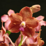 ascda-mem-louis-hatos-grown-by-eunice-walker