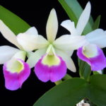 blc_a-19_hawaii_star_paradise_102808_2