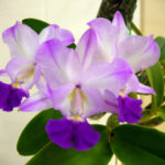 cattleya-crownfox-sweetheart-paradise-by-eunice-walker