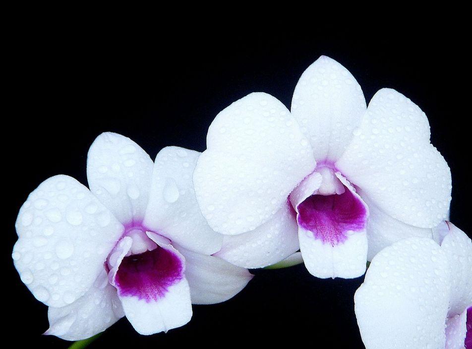 dendrobium__chao_praya__sweet