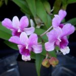 dendrobium_bigibbum_x_den-_all_season_blue