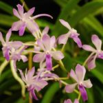 neostylis-lou-sheary-owned-by-david-genovese-1-1280x1024