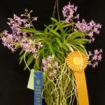 neostylis-lou-sneary-owned-by-david-genovese-961x1280