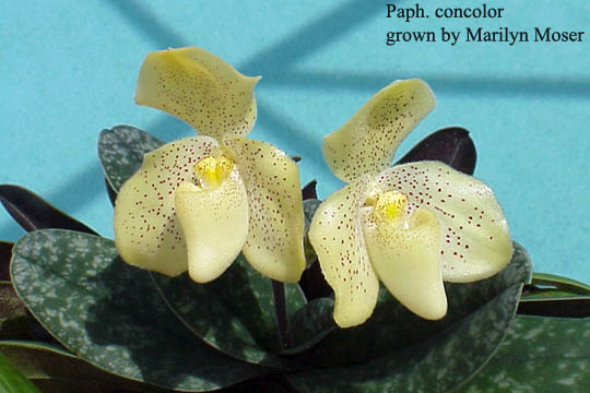 paph_concolor_marilyn_moser