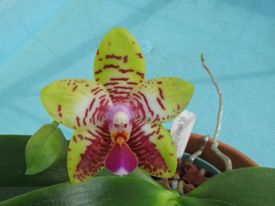 phal_orchidworld